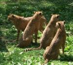 Gepard (Tiergarten Nürnberg)
