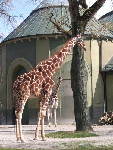 Giraffe (Tierpark Hellabrunn)