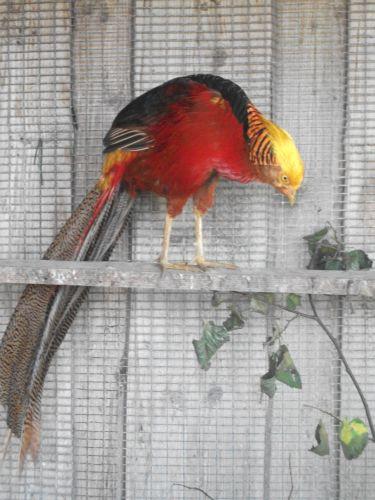 Goldfasan (Wildpark Poing)