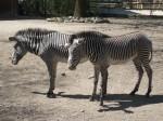 Grevyzebra (Zoo Augsburg)