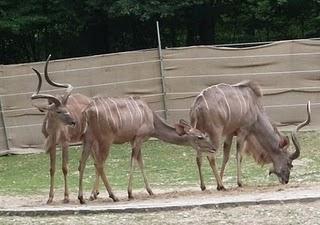 Großer Kudu (Tierpark Hellabrunn)