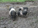 Hängebauchschwein (Raritätenzoo Ebbs)