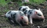 Hängebauchschwein, Ferkel (Wildpark Poing)
