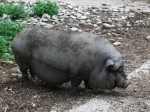Hängebauchschwein (Tierpark Haag)