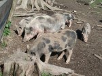 Hängebauchschwein (Wildpark Poing)