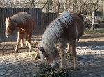 Haflinger (Tierpark Hellabrunn)