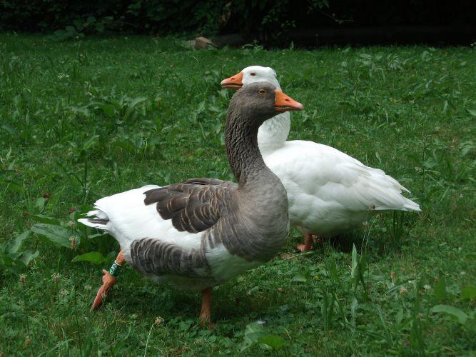 Hausgans (Zoo Linz)