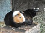 Hausmeerschweinchen (Tierpark Haag)