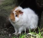 Hausmeerschweinchen (Tiergarten Nürnberg)