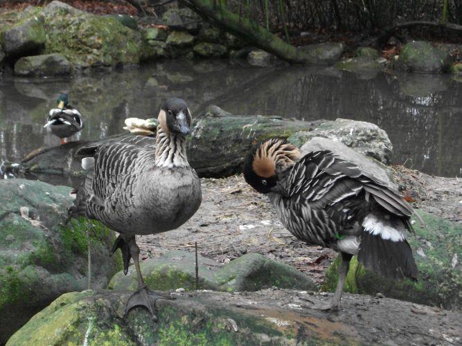 Hawaiigans (Zoo Augsburg)