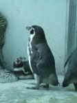 Humboldtpinguin (Tierpark Hellabrunn)