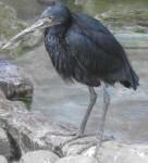 Küstenreiher (Zoo Augsburg)