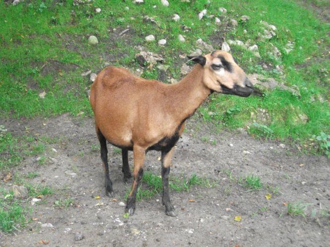 Kamerunschaf (Zoo Salzburg)