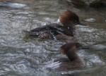 Kappensäger, Weibchen (Tierpark Hellabrunn)
