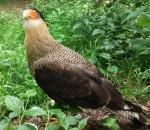 Schopfkarakara (Vogelpark Abensberg)