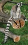 Katta (Serengetipark Hodenhagen)