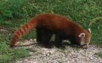 Kleiner Panda (Zoo Schmiding)