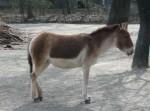 Kiang (Tierpark Hellabrunn)