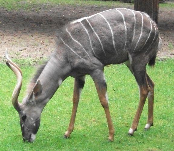 Kleiner Kudu (Erlebniszoo Hannover)