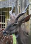 Kleiner Kudu (Zoo Osnabrück)