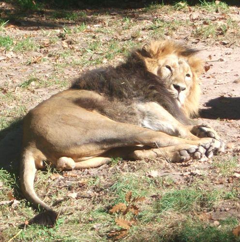Asiatischer Löwe (Tiergarten Nürnberg)