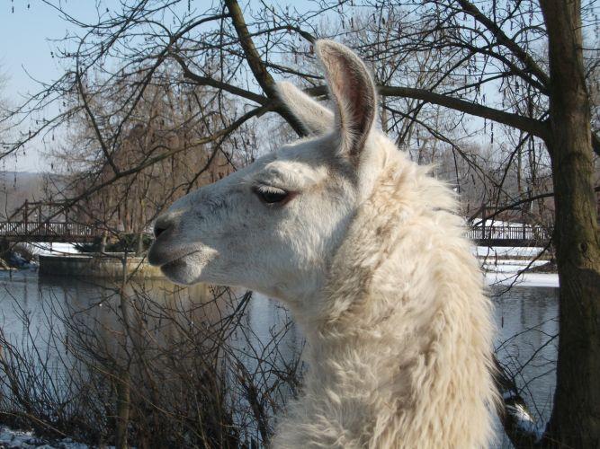 Lama (Tiergarten Ulm)