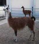Lama (Zirkus Krone Zoo)