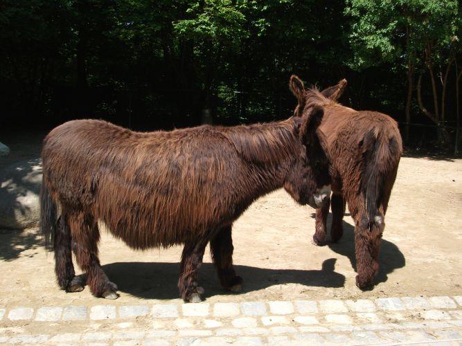 Martina-Franca-Esel (Tierpark Hellabrunn)