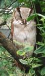 Maskeneule (Weltvogelpark Walsrode)