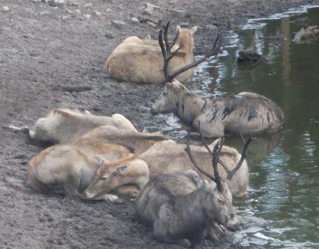 Davidshirsch (Serengetipark Hodenhagen)