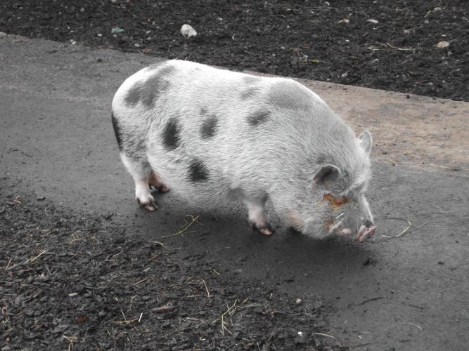 Göttinger Minischwein (Tierpark Hellabrunn)