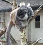 Mongozmaki (Zoo Schmiding)