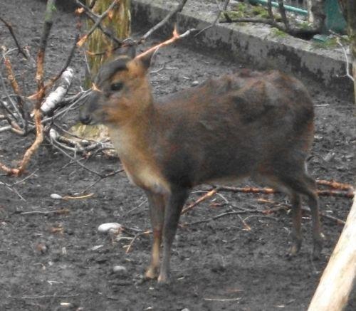 Chinesischer Muntjak (Zoo Augsburg)