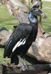 Nördlicher Hornrabe (Tierpark Hellabrunn)