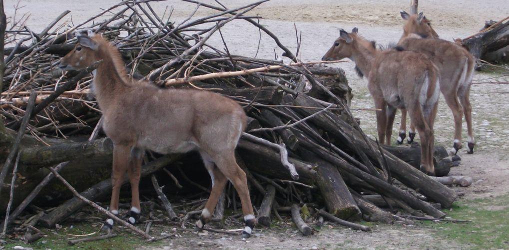 Nilgauantilope (Tierpark Hellabrunn)