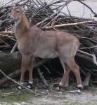 Nilgau-Antilope (Tierpark Hellabrunn)