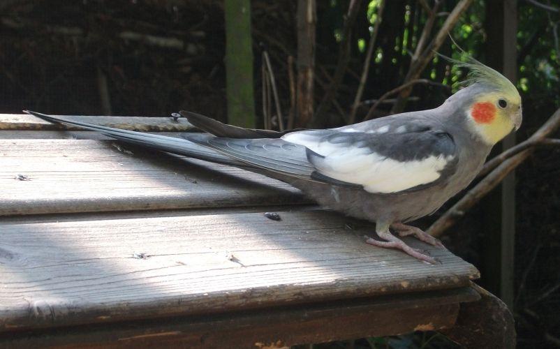 Nymphensittich (Zoologischer Garten Hof)