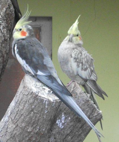Nymphensittich (Vogelpark Olching)