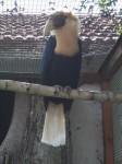 Papua-Hornvogel (Vogelpark Irgenöd)