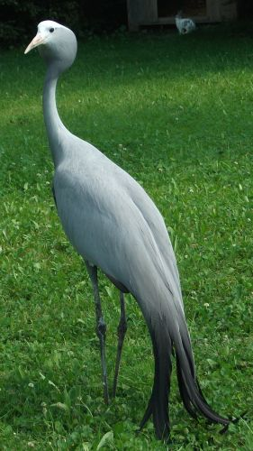 Paradieskranich (Vogelpark Irgenöd)