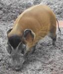 Pinselohrschwein (Tiergarten Nürnberg)