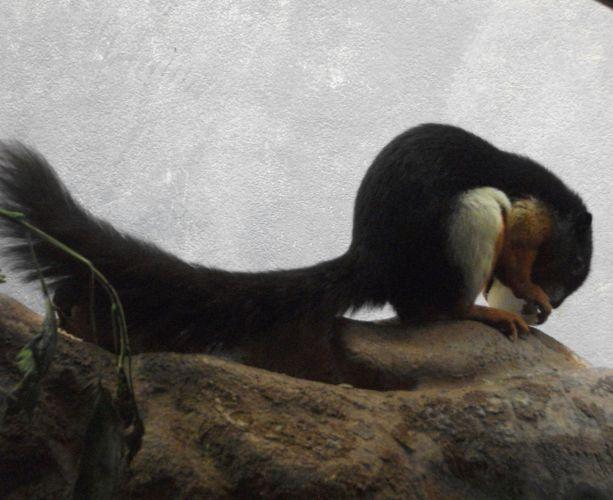 Prevost-Schönhörnchen (Zoo Frankfurt)