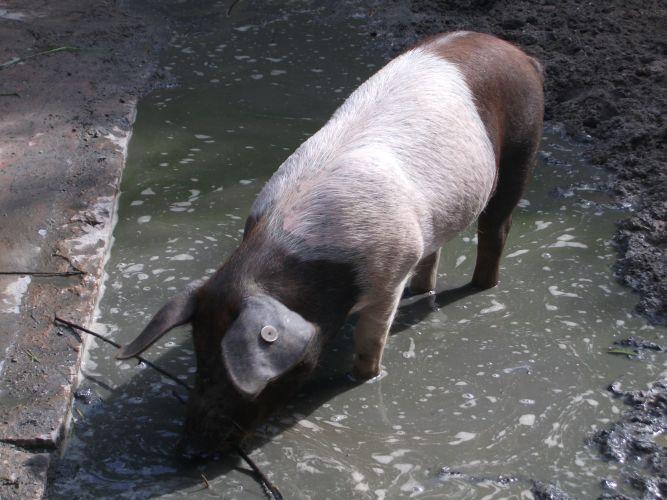 Husumer Protestschwein (Erlebniszoo Hannover)