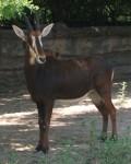 Rappenantilope (Zoo Frankfurt)