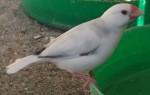 Reisfink, weiß (Wildpark Poing)