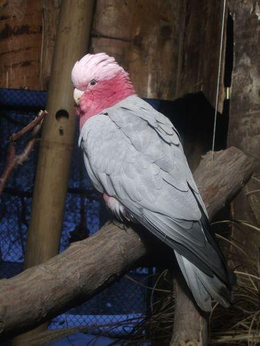 Rosakakadu (Tierpark Hellabrunn)