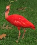 Roter Sichler (Weltvogelpark Walsrode)