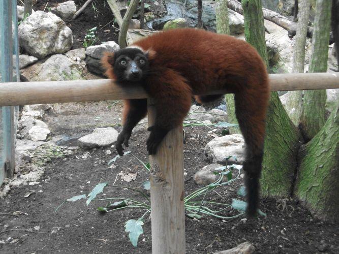 Roter Vari (Zoo Schmiding)