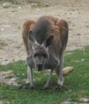 Rotes Riesenkänguru (Tierpark Hellabrunn)