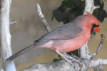 Roter Kardinal (Zoo Augsburg)